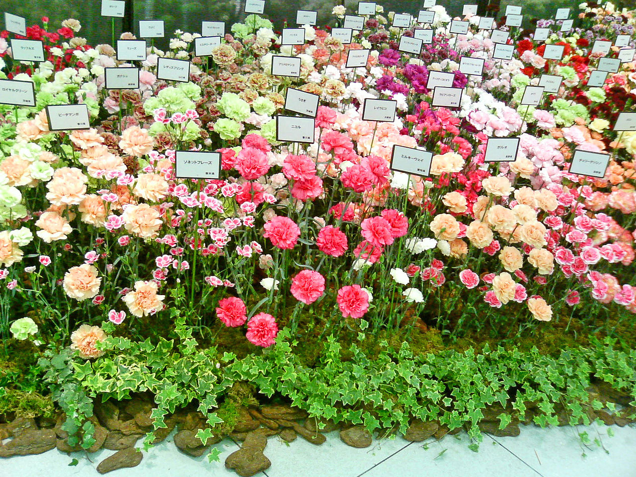 Carnation_Varieties_-_Mother's_Day_-Ginza.jpg